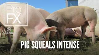 Pig Squeals Intense | Animal Sound Effects | ProFX (Sound, Sound Effects, Free Sound Effects)