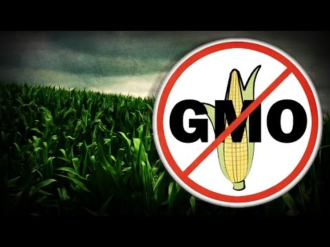 Herbicide-resistant GMO corn could be harmful & escalate allergies - study