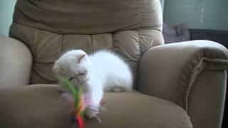Гималайские  кошки и экзоты колорпоинты