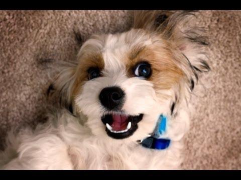 Cavachon Puppy Does Tricks! (Wave)
