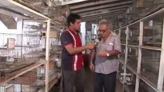 Um criador de pássaros da cidade de São Luís thumbnail