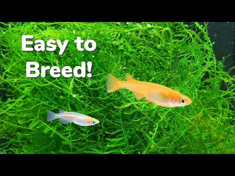 How To Breed Medaka Rice Fish Indoors: Getting The Most Fry!