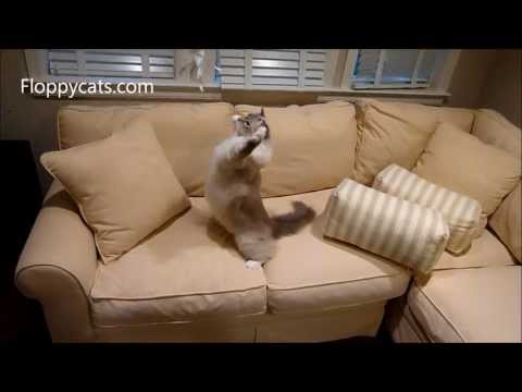 Homemade Cat Toy: Ragdoll Cats Play With Homemade Cat Toy - ねこ - ラグドール - Floppycats