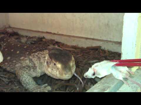 White Throat Monitor Feeding Youtube