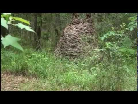 Florida  Wasp nest is larger than man