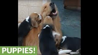 Patient Golden Retriever entertains rambunctious puppies