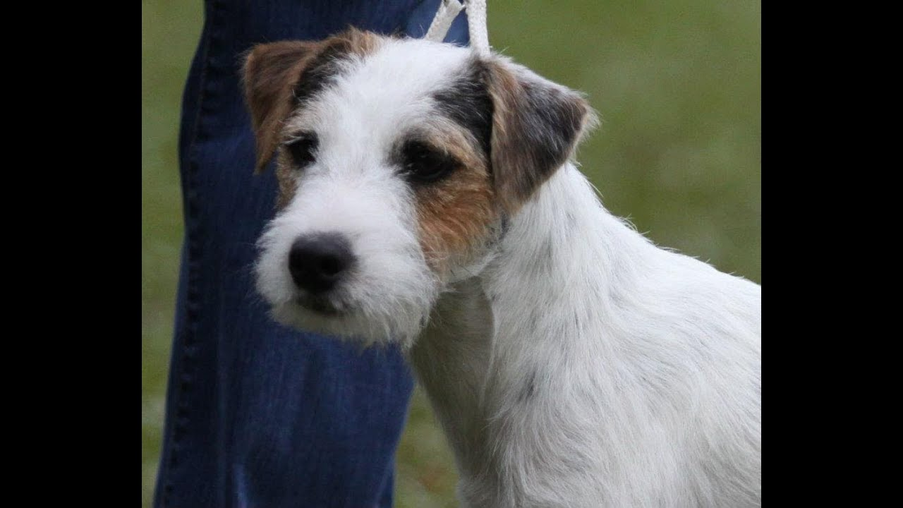 Parson Russell Terrier/Jack Russell Grand Champion, Blue ... | 1280 x 720 jpeg 71kB