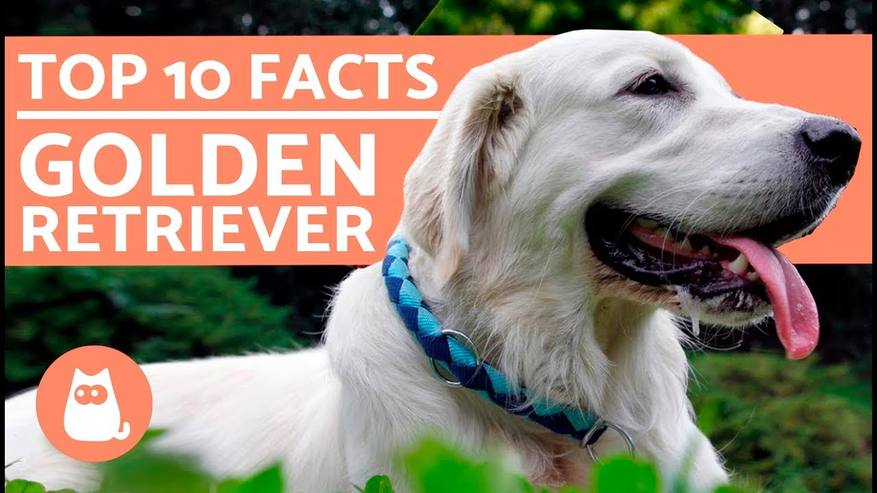 What To Know About Golden Retrievers Top 10 Facts Youtube
