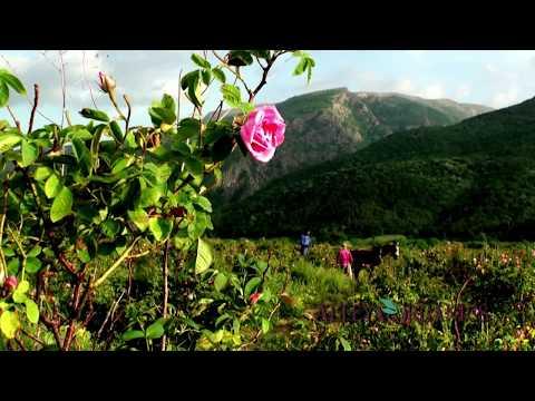 Alteya Organics - Rose Harvest