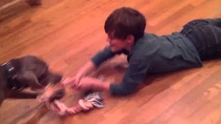 60 Lb Weimaraner Dog Drags 70 Lb Kid At Play-time