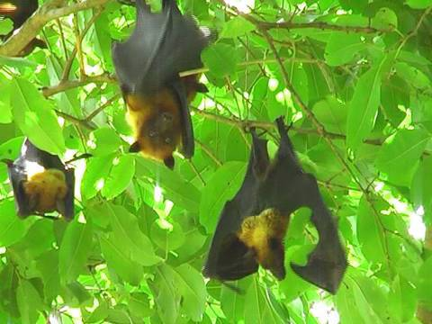 Flying Fox Bats near Bharatpur, Rajasthan