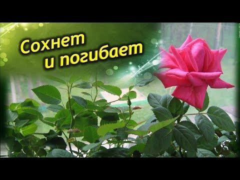 Сохнет, желтеет и погибает комнатная роза. Что делать? Как спасти цветок?