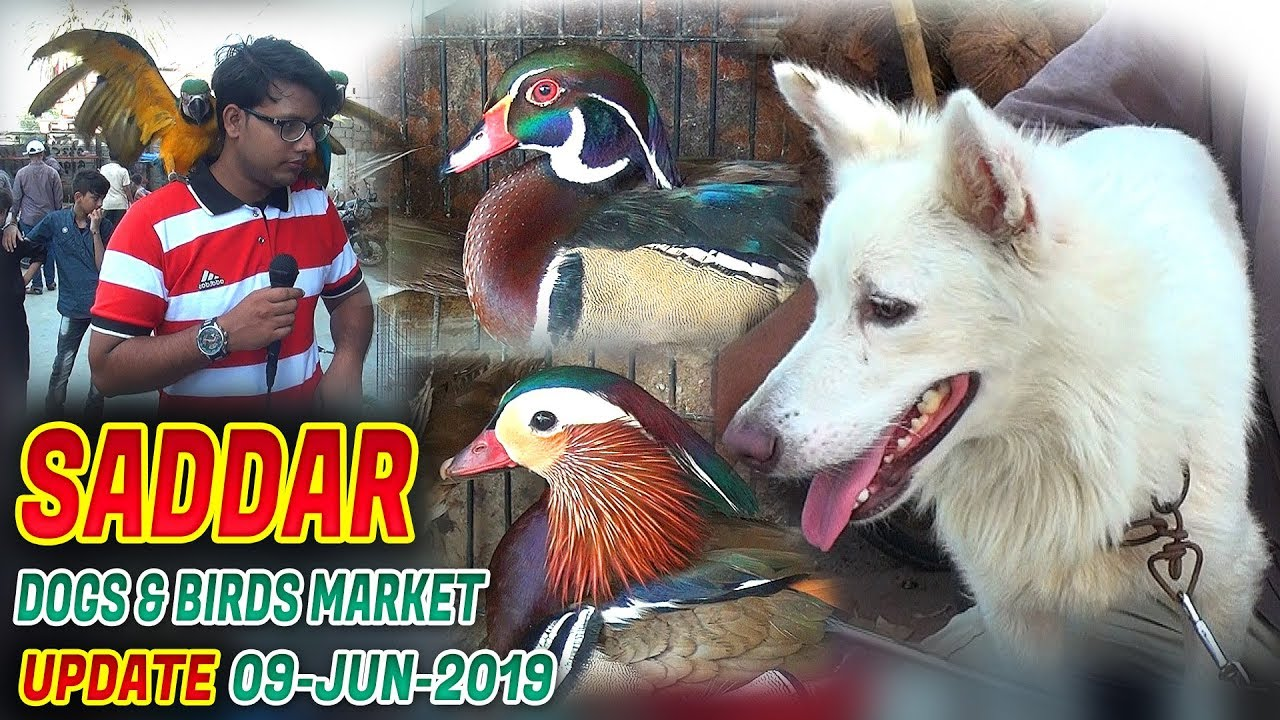 Saddar Animals and birds Sunday Market Dogs for sale  9-6-2019 Jamshed Asmi Informative Channel