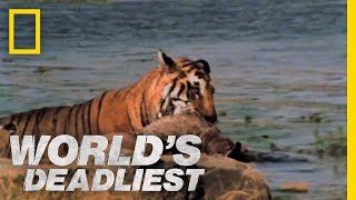 Tiger vs. Deer | World's Deadliest
