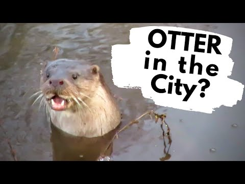 Otters In The City - Norwich