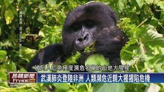 【民視全球新聞】保育防疫戰 保護大猩猩 2020.03.29