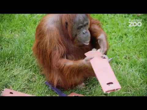 Thumbnail: Zoo Tales - Meet Auckland Zoo enrichment volunteer Jean