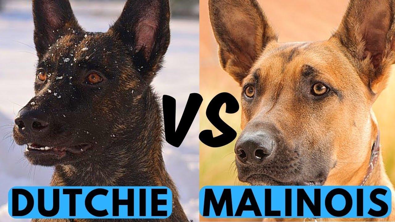 Belgian Malinois Vs Dutch Shepherd Difference Youtube