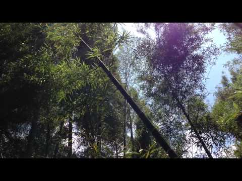 Bamboo Forest, by Hilary Hahn