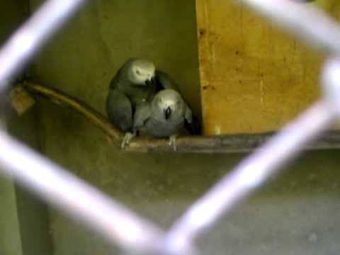 Mating African Grey parrots