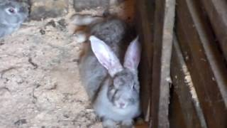 Миксаматоз у кролей  приговор или нет,а главное с чем его едят или пьют.