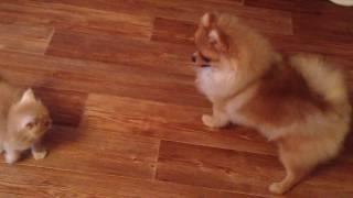 Шпицуля Амелия играет с котенком, а котенок с ней!