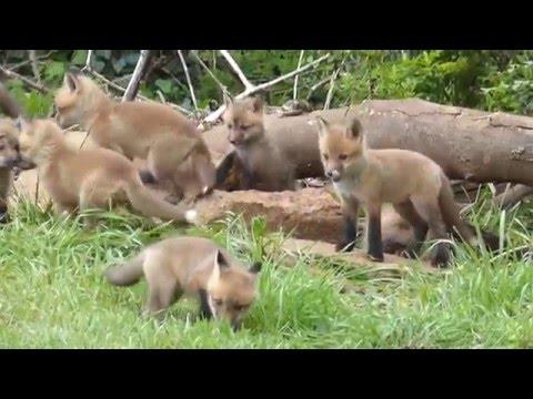 FOX KITS, KNOXVILLE, TN