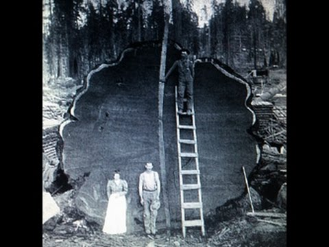 Giant Old Growth Redwood Trees from the past