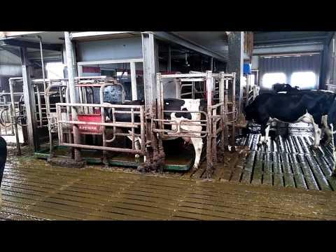 Robots on a Dutch dairy farm