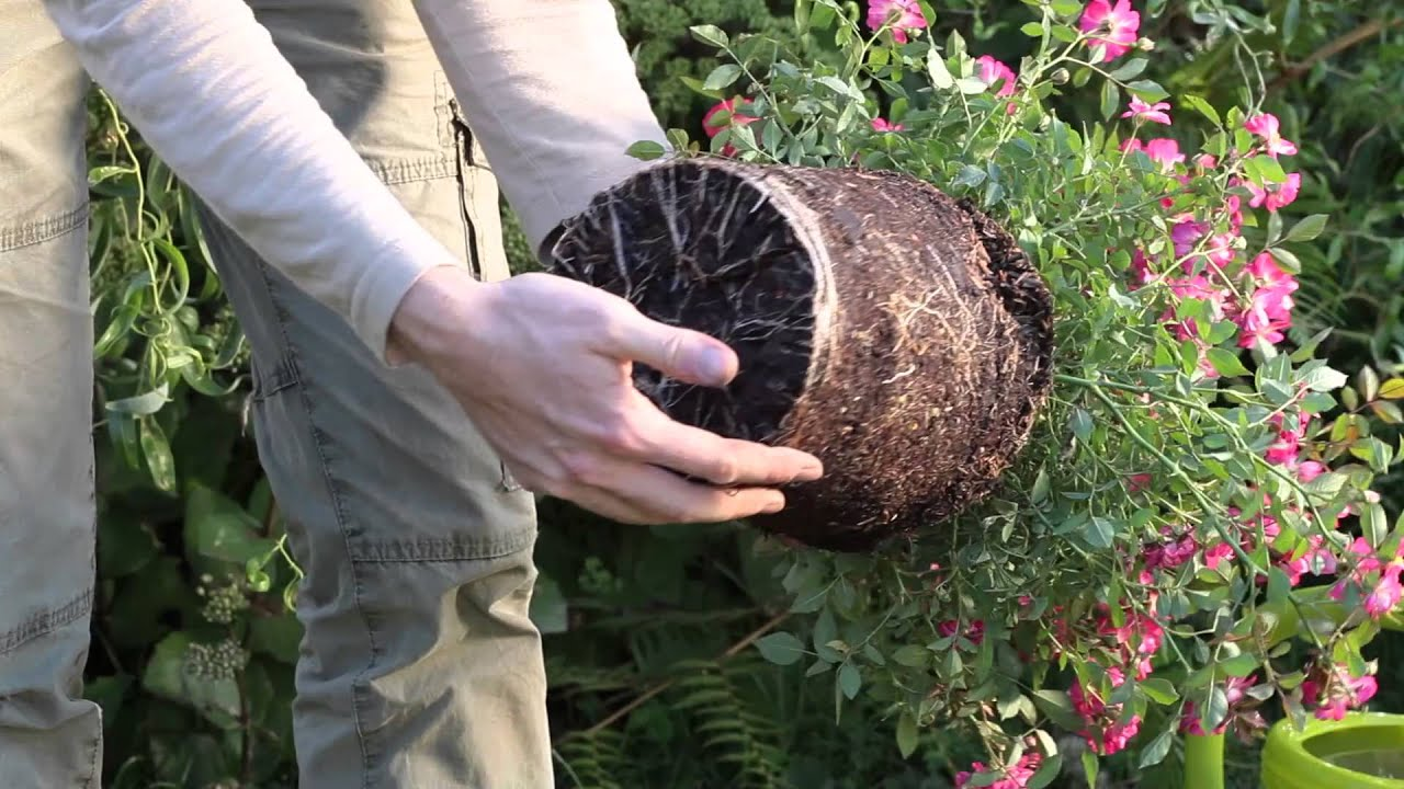 Planter un rosier en conteneur - YouTube
