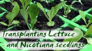 Transplanting Seedlings - Lettuce and Nicotiana