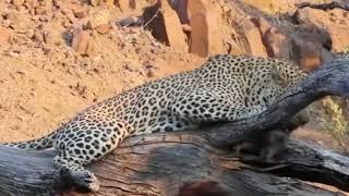Leopard kills baby warthog