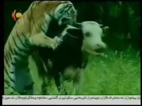Safari tiger Hunting-siberia