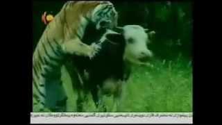 Safari tiger Hunting-siberia