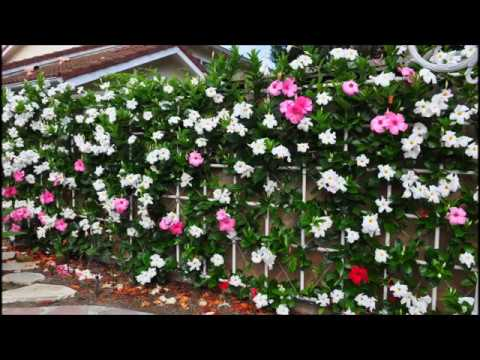 Wall of Mandevilla (Vine)