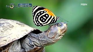 ※공포※ 나비떼가 아마존 거북이의 눈을 공격하는 이유?…