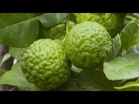 How to grow Kaffir Lime (Citrus hystrix)