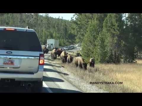 American Bison (Buffalo)- Yellowstone National Park