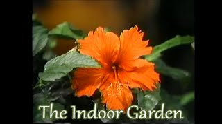 A touch of the Tropics indoors:  the Hibiscus