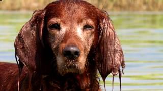 Порода собак. Ирландский сеттер.Роскошный окрас и элегантной тело.СОБАКА МЕЧТА!