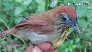 Suara pikat semua burung TERBUKTI !!
