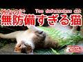 外なのに無防備すぎる猫。ひっくり返って寝ています。Too defenseless cat.