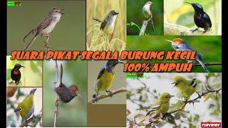 Download Suara Pikat Segala Jenis Burung Kecil Prenjak, Ciblek, Diku, Kolibri Dsb Dijamin Ampuh
