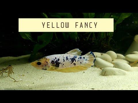 Kasih Pakan Cupang Plakat Yellow Fancy - YouTube