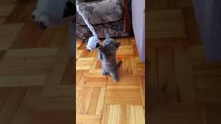 Шотландский котенок 1,5 месяца