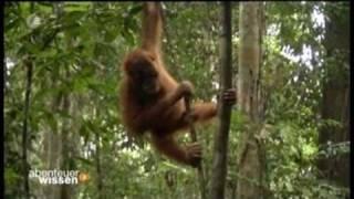 Abenteuer Wissen - Orang-Utans auf Sumatra 1/4