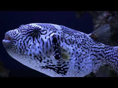 RD's Fish tank (Cleaner Wrasse cleaning inside of Mappa Puffer's gill)