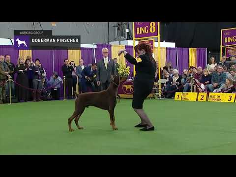 Doberman Pinschers | Breed Judging 2019