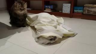 Кот в мешке. Персидские коты