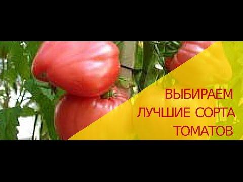 Выбираем лучшие сорта томатов.  Какие сорта томатов самые вкусные, урожайные и неприхотливые?